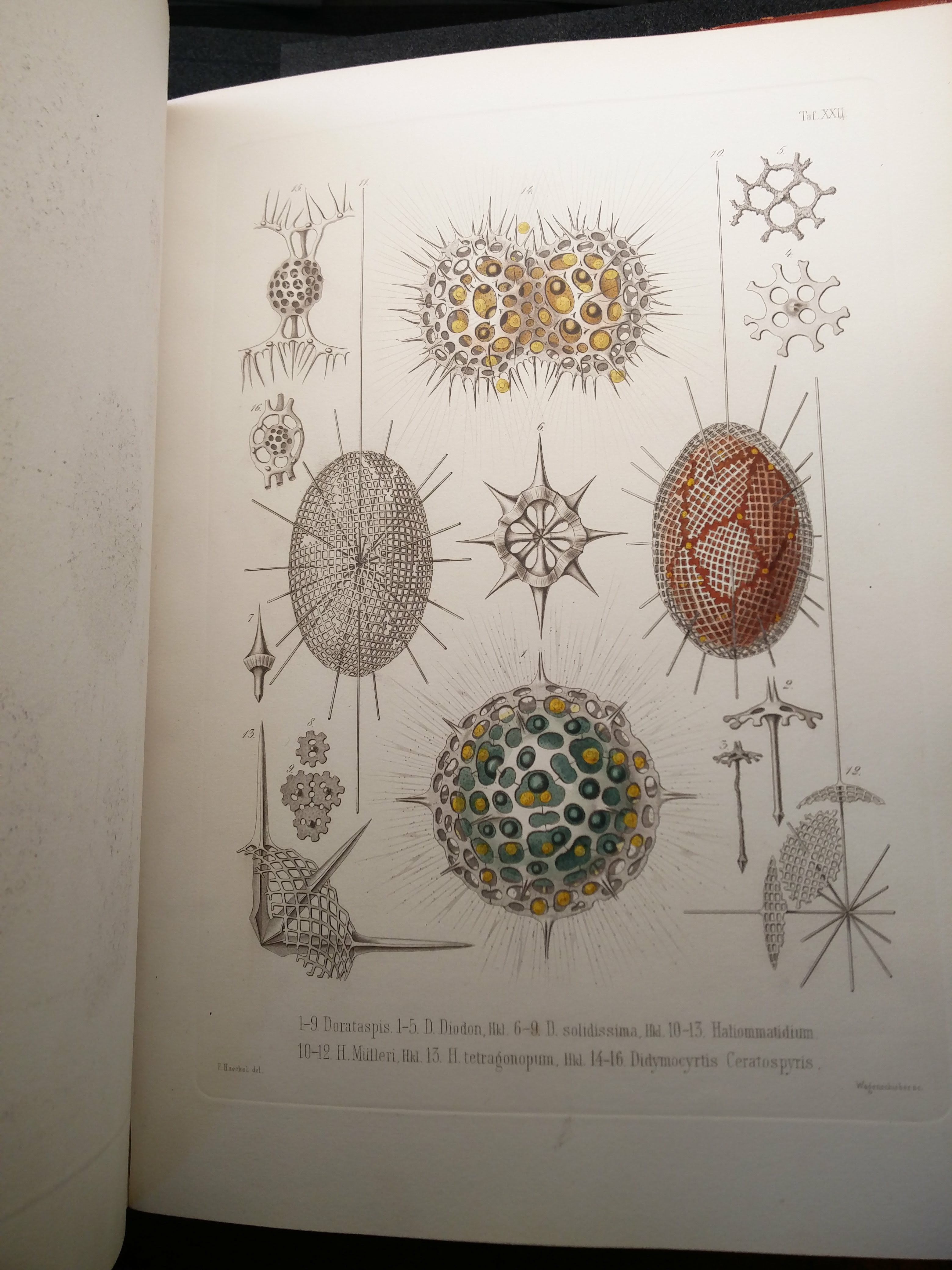 """Ernst Haeckel's coloured plates for Die Radiolarien (Berlin, 1862 – Bodleian RSL 18941 b.1) were stunning and inspiring"""