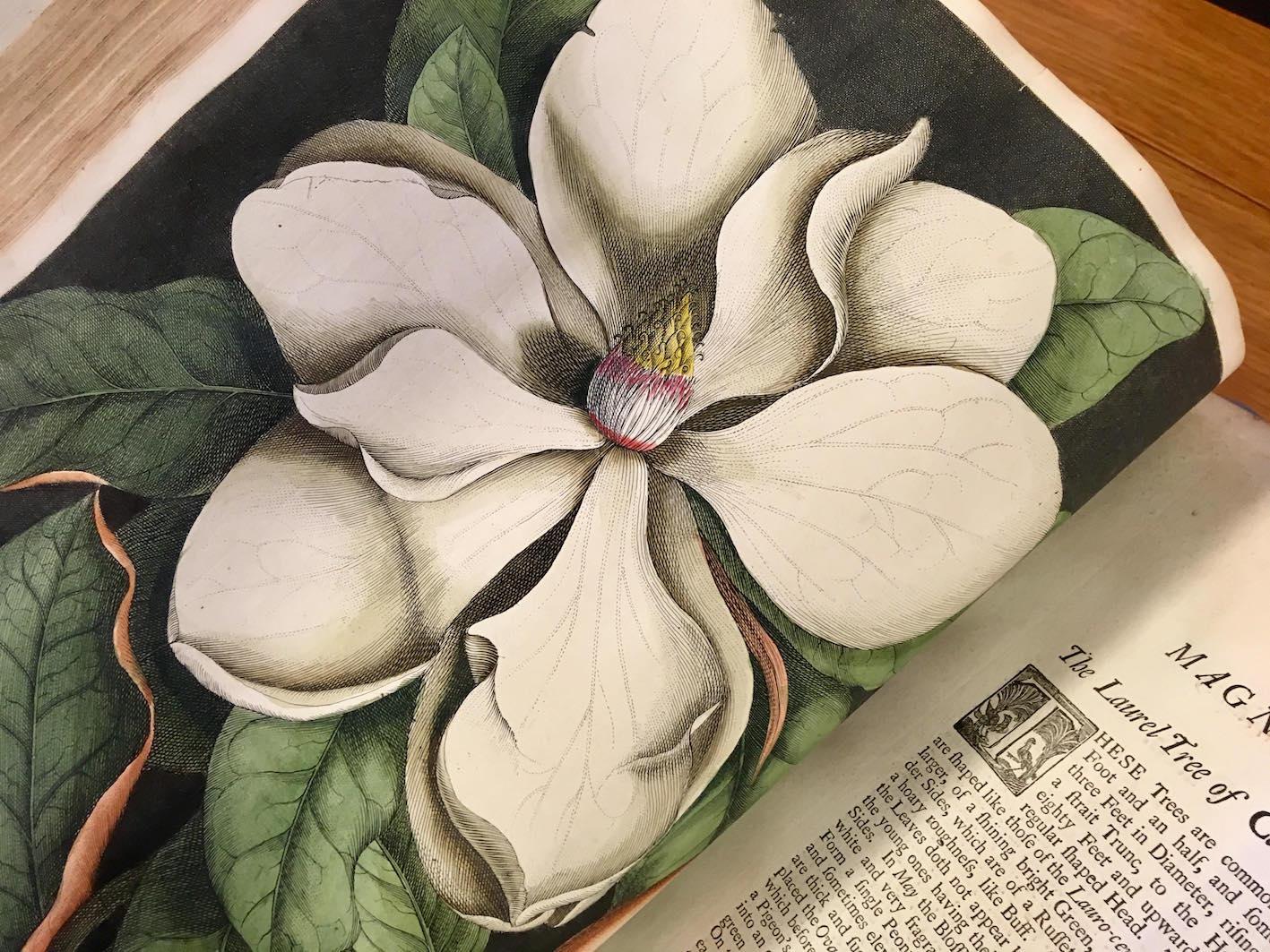 """""""Magnolia."""""""