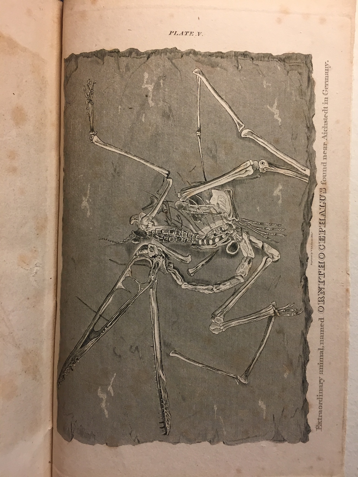 """Plate V: Extraordinary animal named Ornithocephalus found near Aichstedt in Germany."""