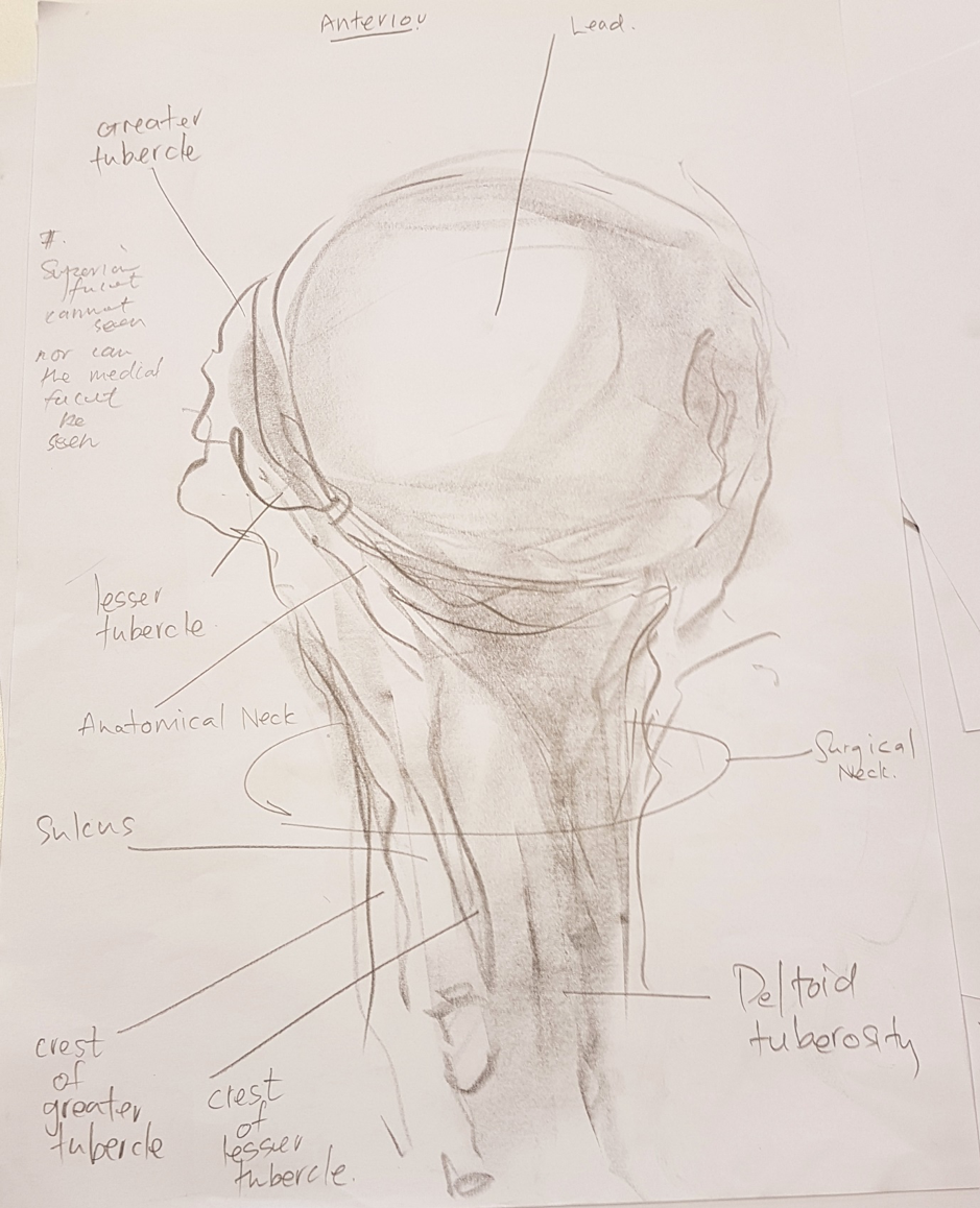 """""""After observing and drawing a humerus, it can be annotated by the student by referencing an anatomy atlas. If they notice that they are unable to annotate a part of their drawing, this is an indication that they should re-observe and re-draw that part of the humerus."""""""