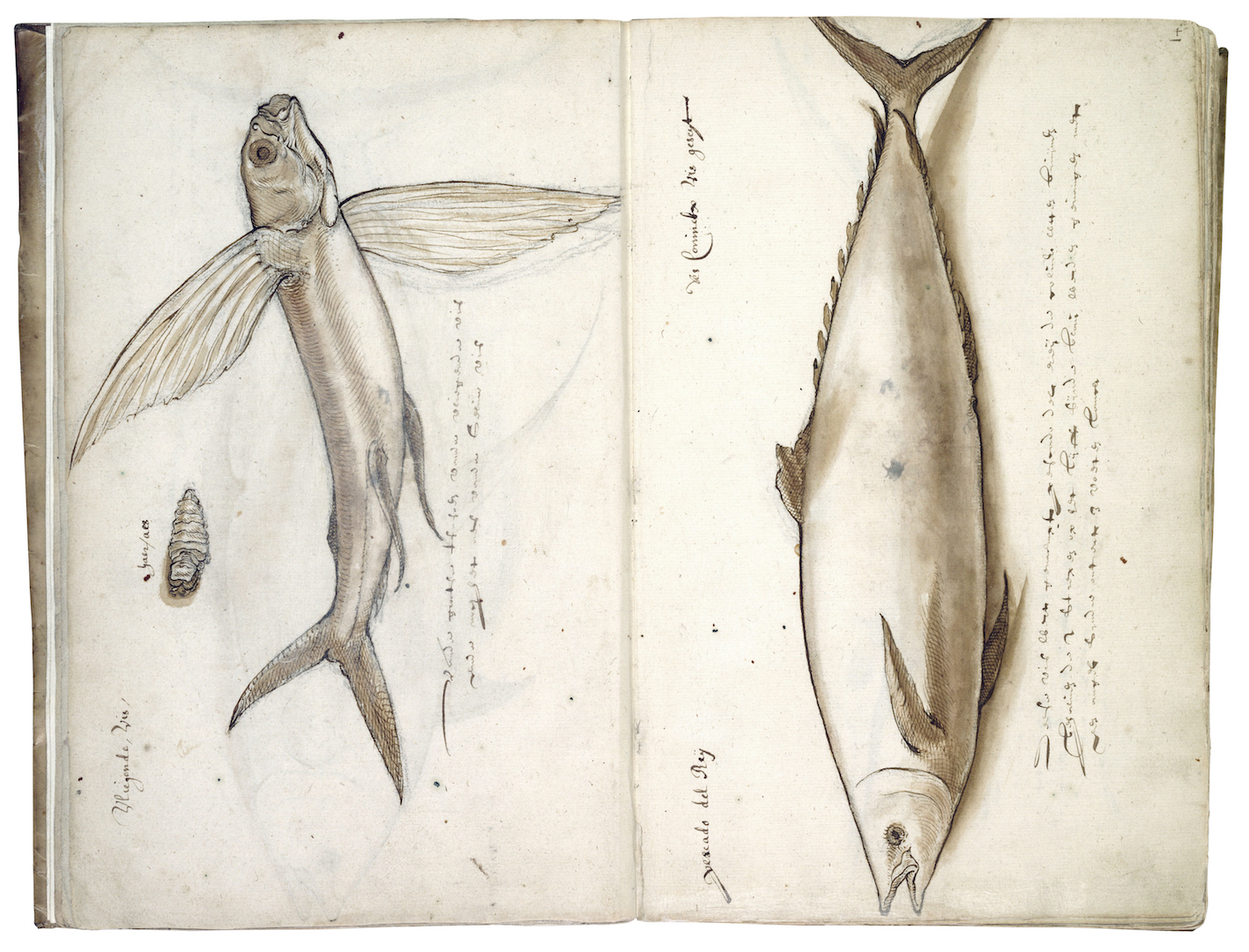 """Figure 3. Flying fish and king fish, number 135 fols. 3v-4r."""